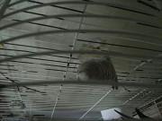 Самка волнистика