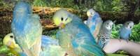 Волнистые попугаи Калуга