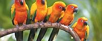 Солнечная аратинга: ручные птенцы выкормыши